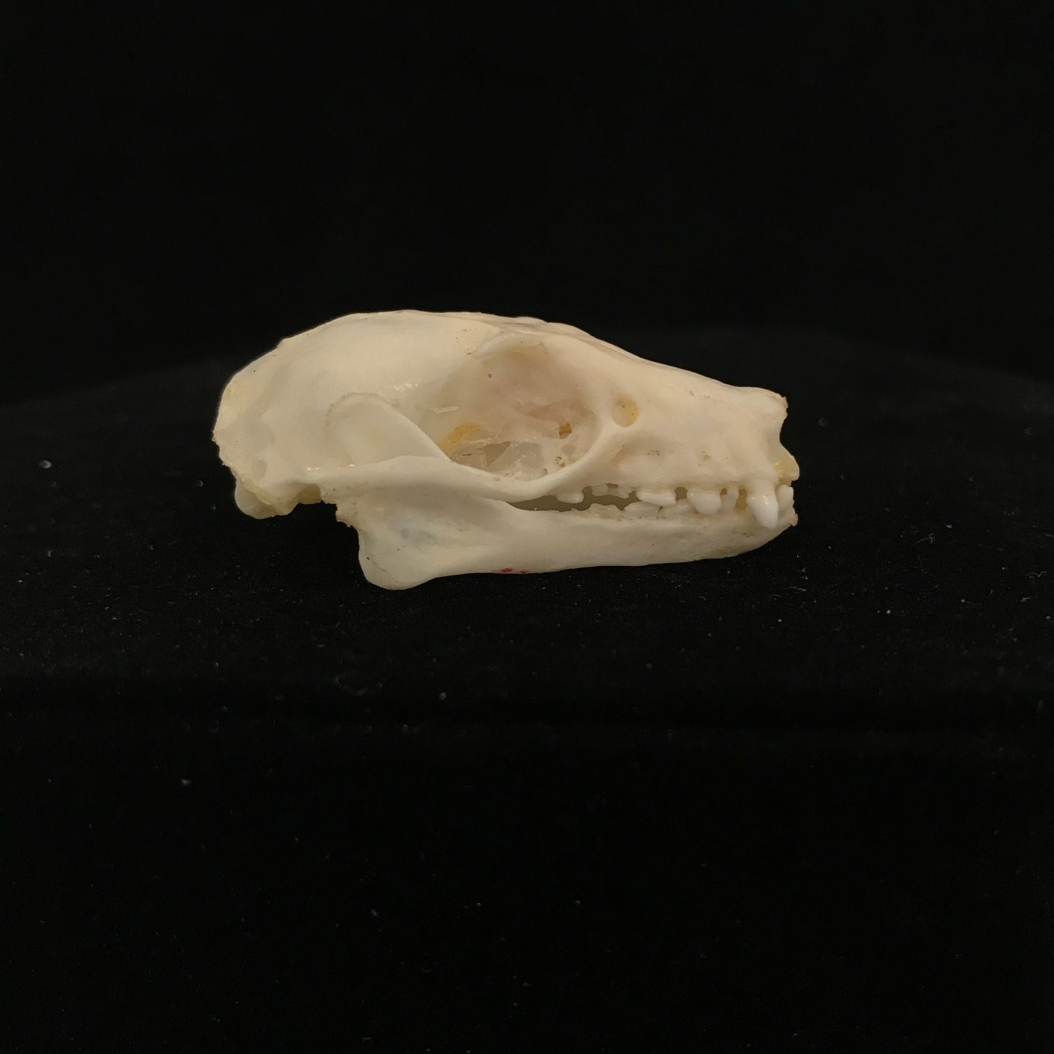 Rousettus leschenaulti bat skull Taxidermy REAL